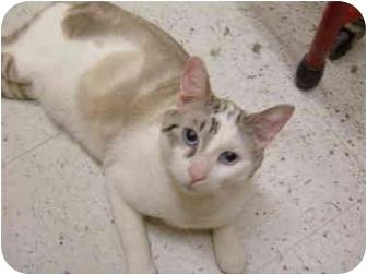 Siamese Cat for adoption in No.Charleston, South Carolina - Gregory