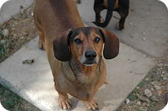 Dachshund Dog for adoption in San Antonio, Texas - Wrinkles