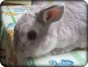 Netherland Dwarf Mix for adoption in Williston, Florida - Leona