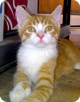 Polydactyl/Hemingway Kitten for adoption in Escondido, California - Waldo
