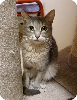 Domestic Shorthair Cat for adoption in Westville, Indiana - Whisper