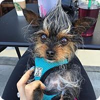 Adopt A Pet :: Peek-A-Boo - Los Angeles, CA