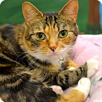 Adopt A Pet :: Mittens - Byron Center, MI