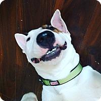 Adopt A Pet :: Captain Caveman - Houston, TX