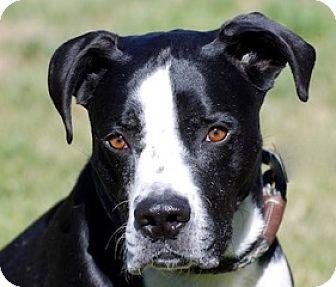 Mastiff Mix Dog for adoption in Portola, California - Hulk a.k.a. Harley
