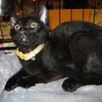 Domestic Shorthair Cat for adoption in Arlington, Texas - Miles