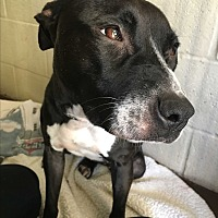 Terrier (Unknown Type, Small)/Labrador Retriever Mix Puppy for adoption in Flat Rock, Michigan - Cheyanne