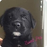 Adopt A Pet :: Sweet Pea - Pitt Meadows, BC