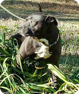 American Pit Bull Terrier/Labrador Retriever Mix Dog for adoption in Allentown, New Jersey - Samuel