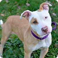 Adopt A Pet :: Millie - Cranford, NJ