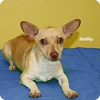 Adopt A Pet :: Stubby - Hillsboro, TX