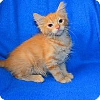 Maine Coon Cat for adoption in Buford, Georgia - Linus
