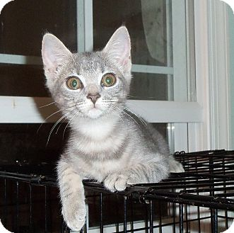 Domestic Shorthair Kitten for adoption in Catasauqua, Pennsylvania - Angel