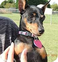 Miniature Pinscher Dog for adoption in Nashville, Tennessee - Cha Cha