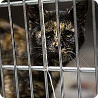 Adopt A Pet :: Jada - Chilhowie, VA