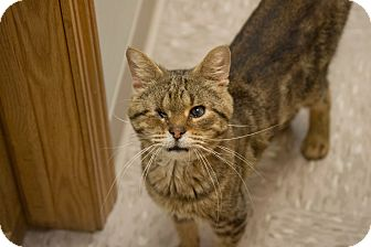 Domestic Shorthair Cat for adoption in Byron Center, Michigan - Colonel