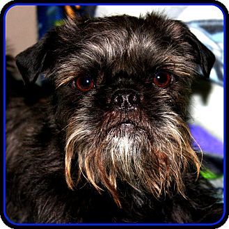 Affenpinscher Dog for adoption in Indianapolis, Indiana - FINLEY - ADOPTION PENDING