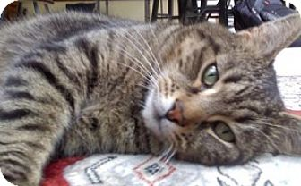 Domestic Shorthair Cat for adoption in Mobile, Alabama - Madeline
