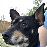 Adopt A Pet :: Spatz - Dallas, TX