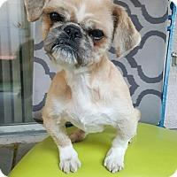 Adopt A Pet :: Bear - Henderson, NV