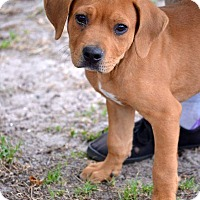 Redbone Coonhound/Mixed Breed (Large) Mix Puppy for adoption in Okeechobee, Florida - Rockie