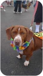 Dachshund/Beagle Mix Dog for adoption in Acton, California - Freddie