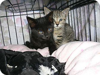 Domestic Shorthair Kitten for adoption in lake elsinore, California - Kittens