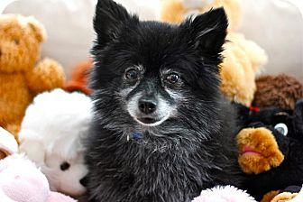 Pomeranian Mix Dog for adoption in Douglas, Ontario - Chewbarka