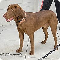 Adopt A Pet :: Big Cocoa - Cumming, GA