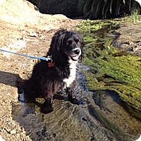 Adopt A Pet :: Beau - Costa Mesa, CA