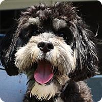 Adopt A Pet :: TIger - La Costa, CA