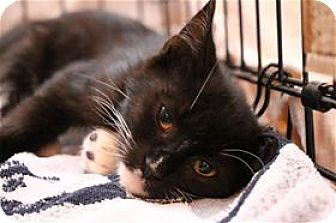 Domestic Shorthair Kitten for adoption in Lincoln, California - Sequoia