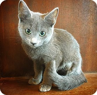 Russian Blue Kitten for adoption in Fredericksburg, Texas - Primrose