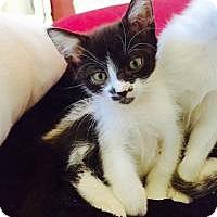 Adopt A Pet :: Raven - Mission Viejo, CA