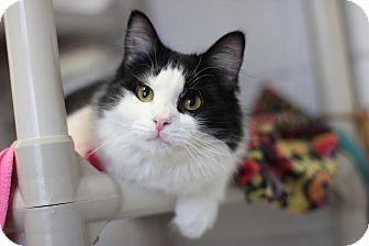 Domestic Mediumhair Cat for adoption in Midland, Michigan - Hatson - NO FEE