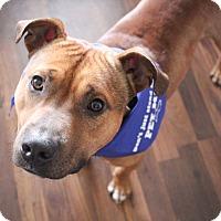 Terrier (Unknown Type, Medium) Mix Dog for adoption in Fairfax, Virginia - BRUCE