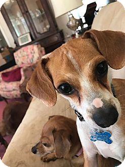 Chihuahua Mix Dog for adoption in Jasper, Georgia - Flynn