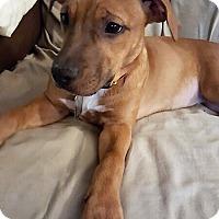 Adopt A Pet :: Bizzy - Surprise, AZ