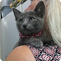 Adopt A Pet :: Bluefur - Picayune, MS