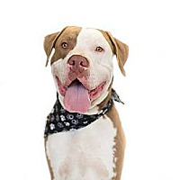 Adopt A Pet :: Apollo - Minneola, FL