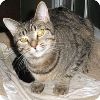 Domestic Shorthair Cat for adoption in Colmar, Pennsylvania - Suzee