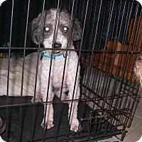 Adopt A Pet :: Stanley - Buchanan Dam, TX