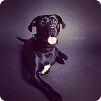 Adopt A Pet :: Bonez - bridgeport, CT