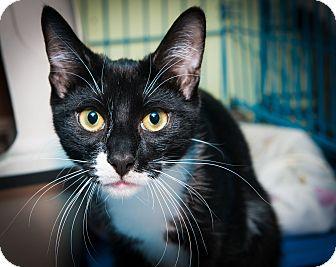Domestic Shorthair Kitten for adoption in New York, New York - Nicky