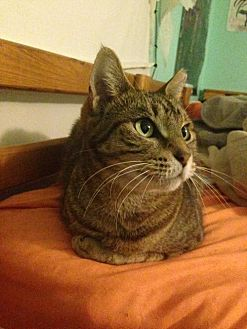 Domestic Shorthair Cat for adoption in West Palm Beach, Florida - zz- Crackerjack (and Nala) (courtesy listing)