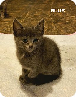 Domestic Shorthair Cat for adoption in Speedway, Indiana - Blue