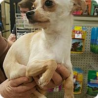Adopt A Pet :: Luna - Alhambra, CA