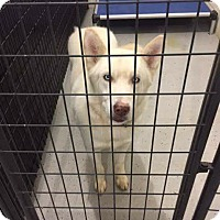 Adopt A Pet :: Apollo - Laingsburg, MI