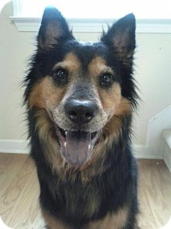 Shepherd (Unknown Type)/Chow Chow Mix Dog for adoption in Winder, Georgia - *Autumn