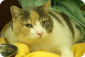 Domestic Shorthair Cat for adoption in New York, New York - Emmy (Westhampton)